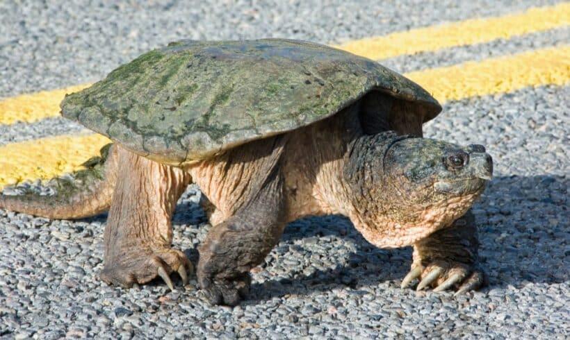 Pondaison de tortues au parc national d'Oka : appel à la vigilance auprès des automobilistes